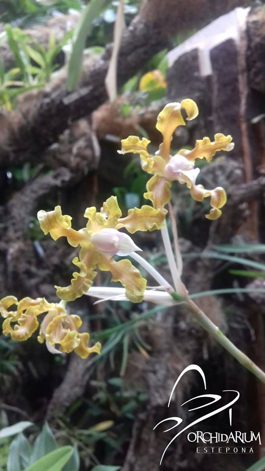 orquideaestepona