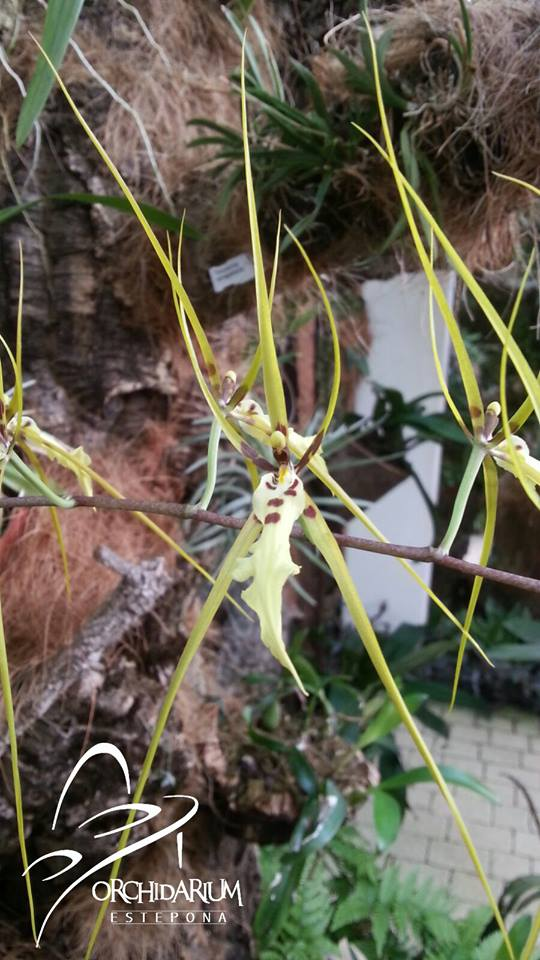 orquideaestepona14