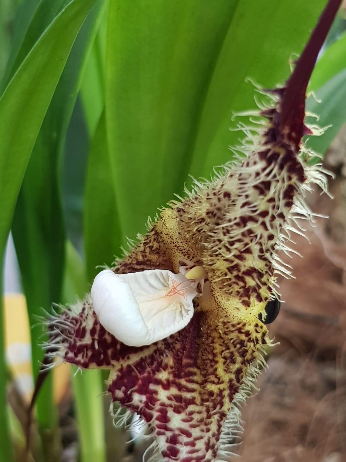 La orquidea de enero: Dracula chimaera