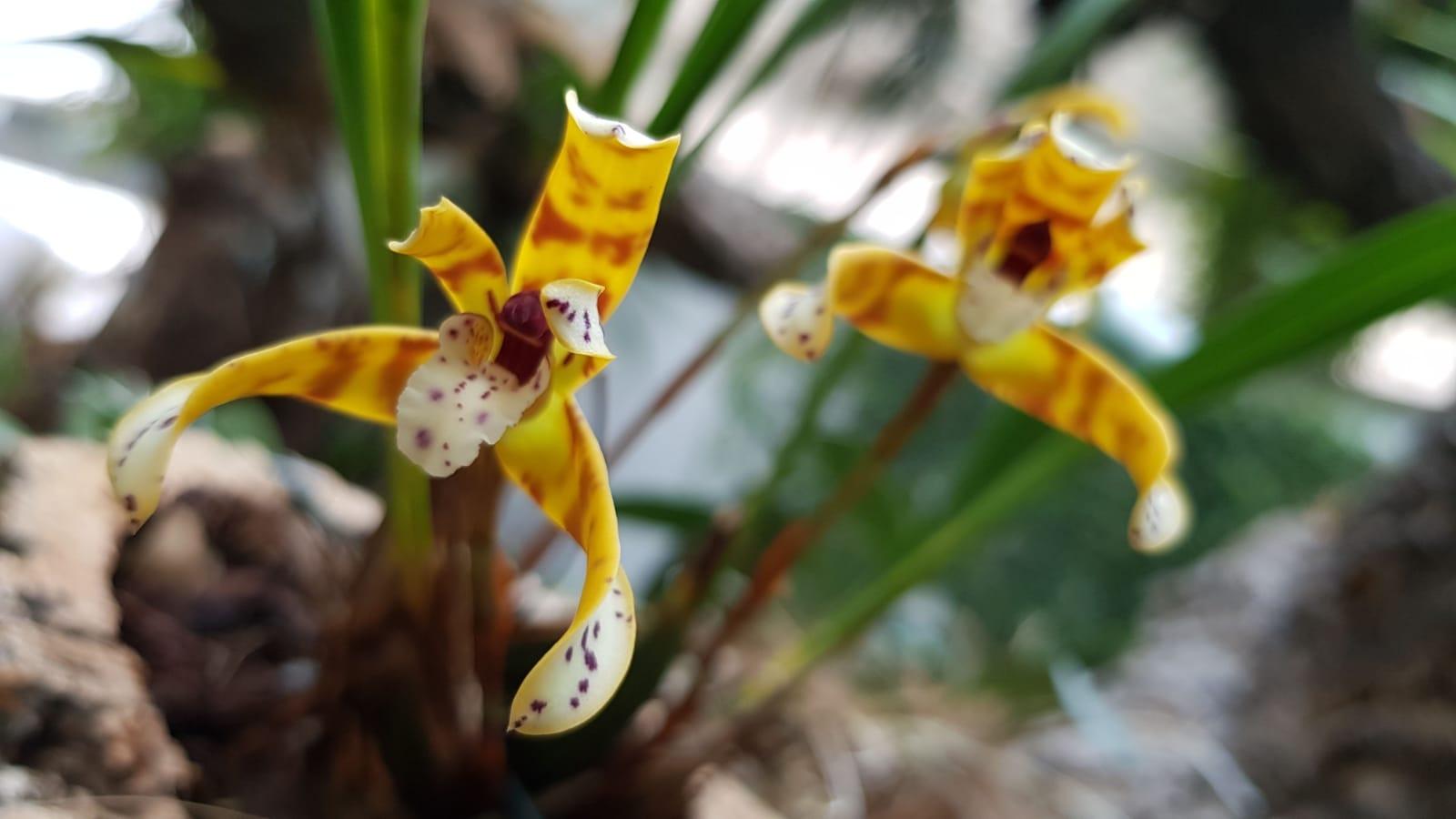 La orquídea de febrero: Maxillaria picta