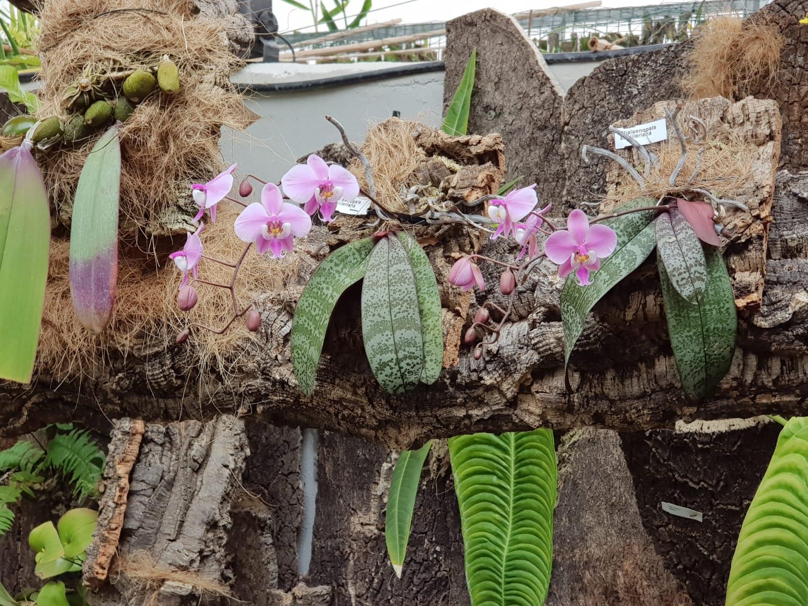En marzo disfruta de los híbridos de Phalaenopsis