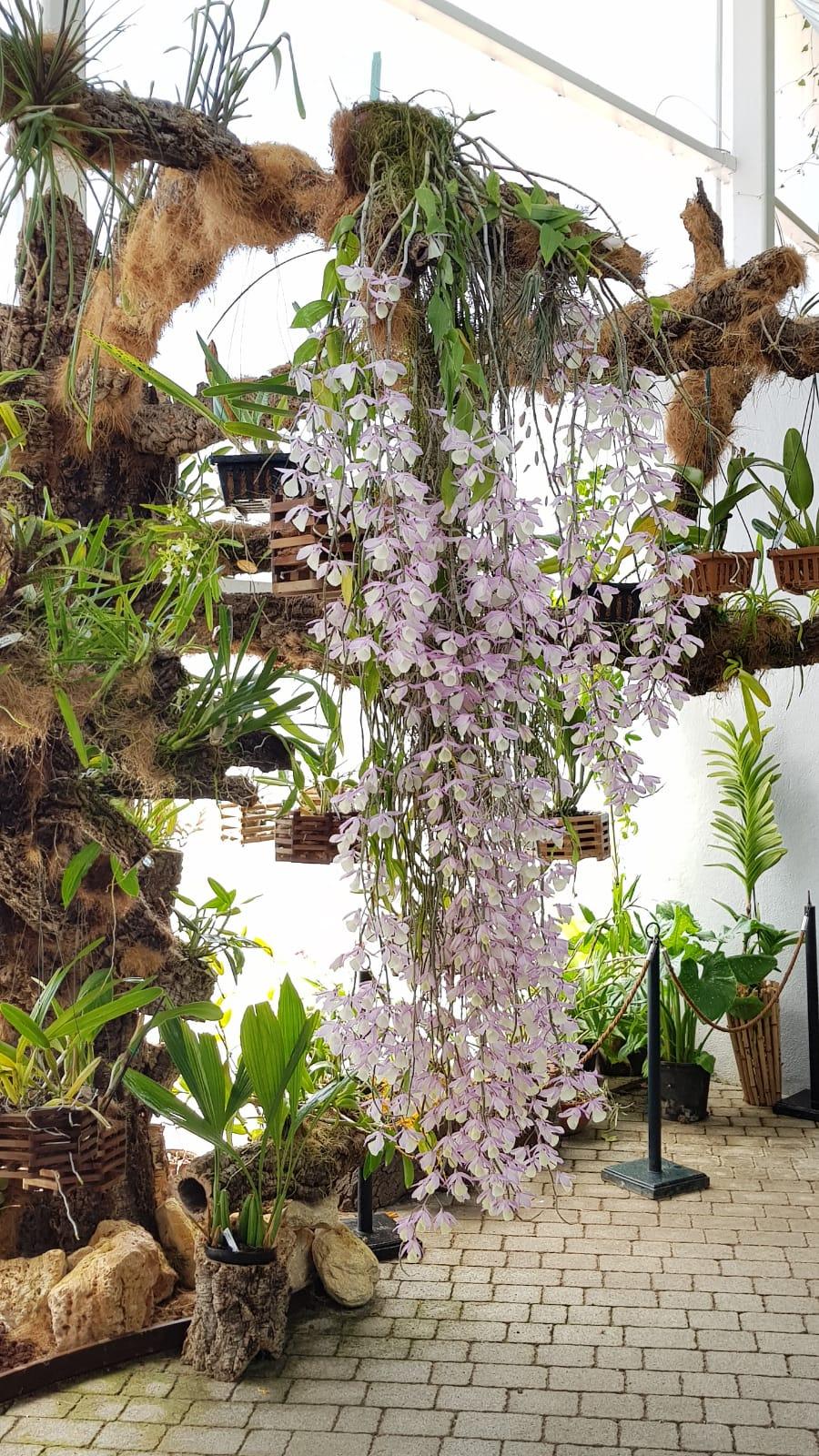 Dendrobium aphyllum, la orquídea de Abril