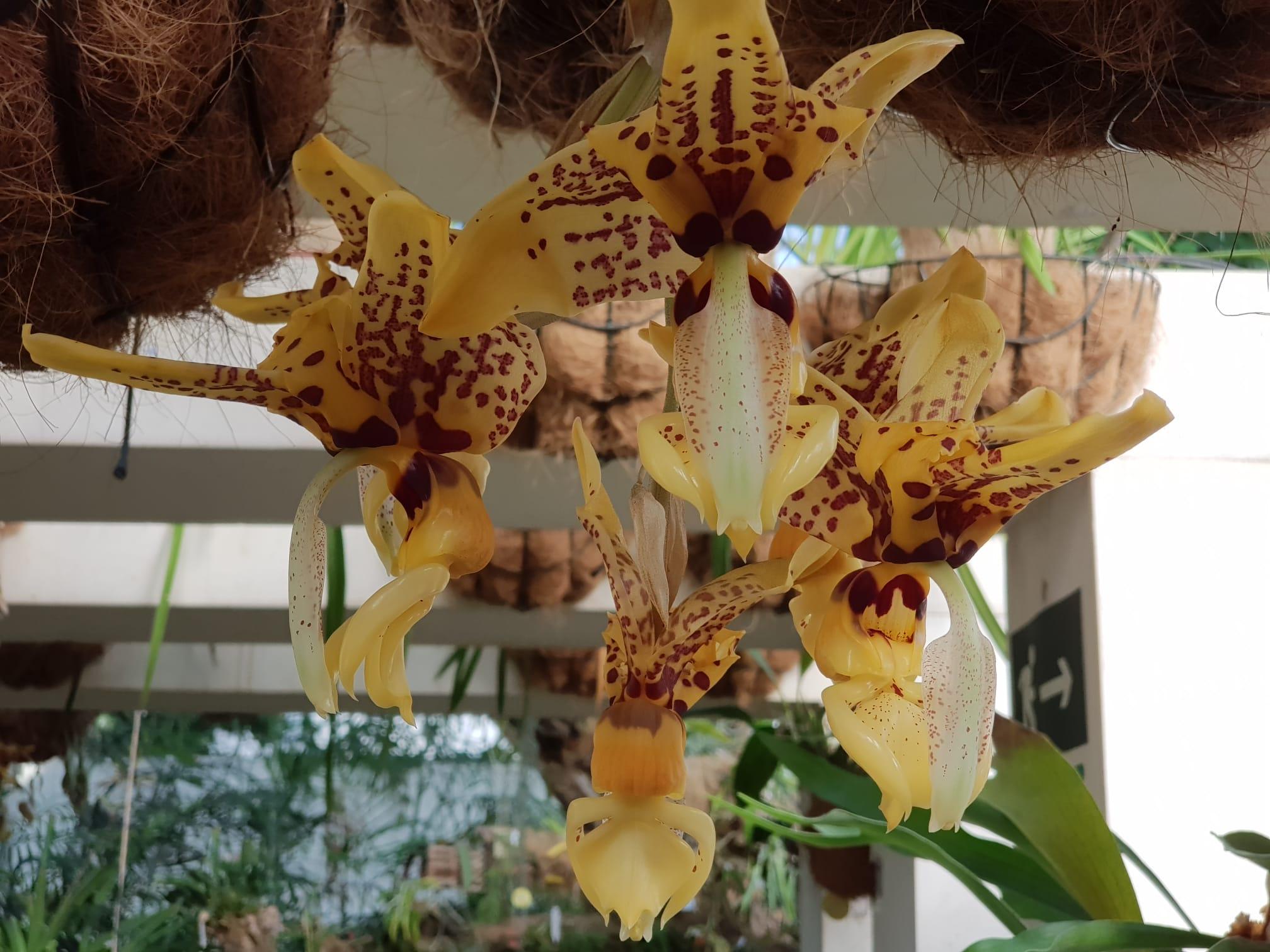 El Orquidario de Estepona acoge la floración de una especie que desprende aroma a chocolate