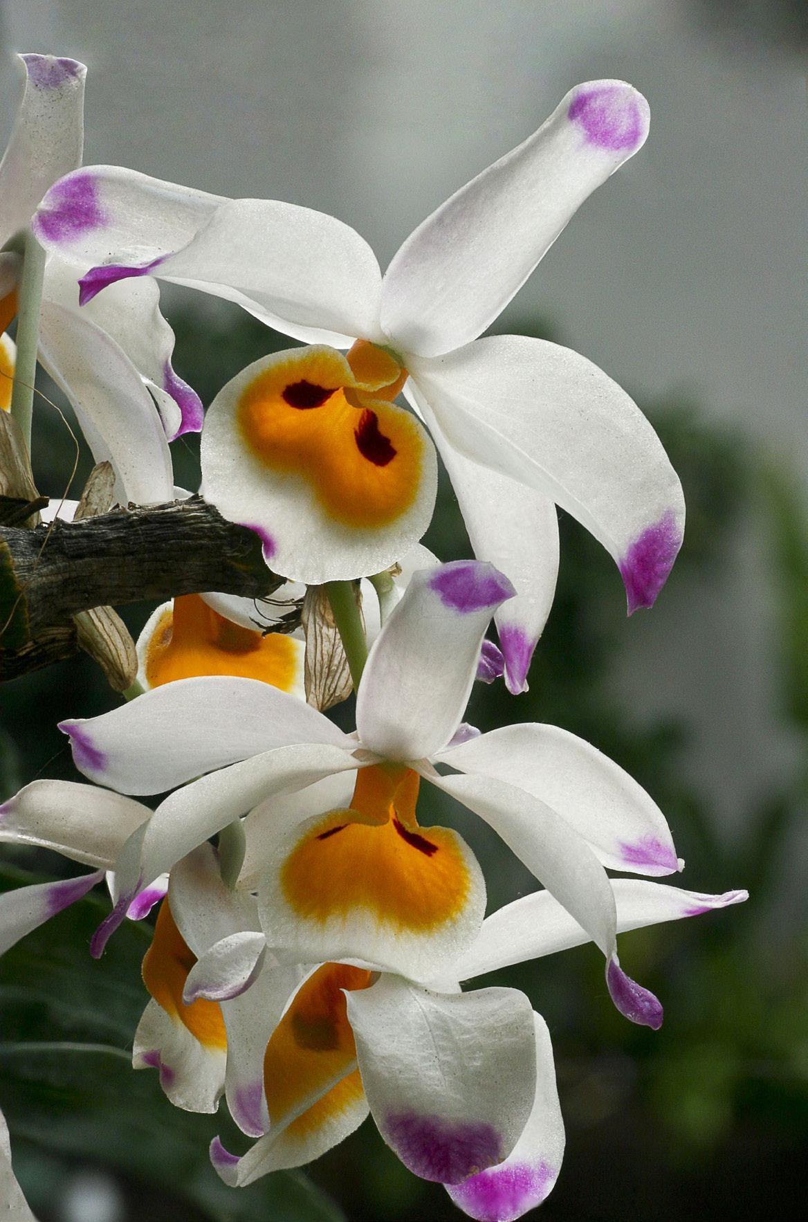 La floración en las orquídeas