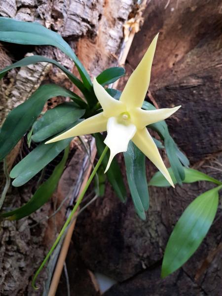 El Parque Botánico-Orquidario de Estepona alberga una especie única por tener el nectario de mayor longitud