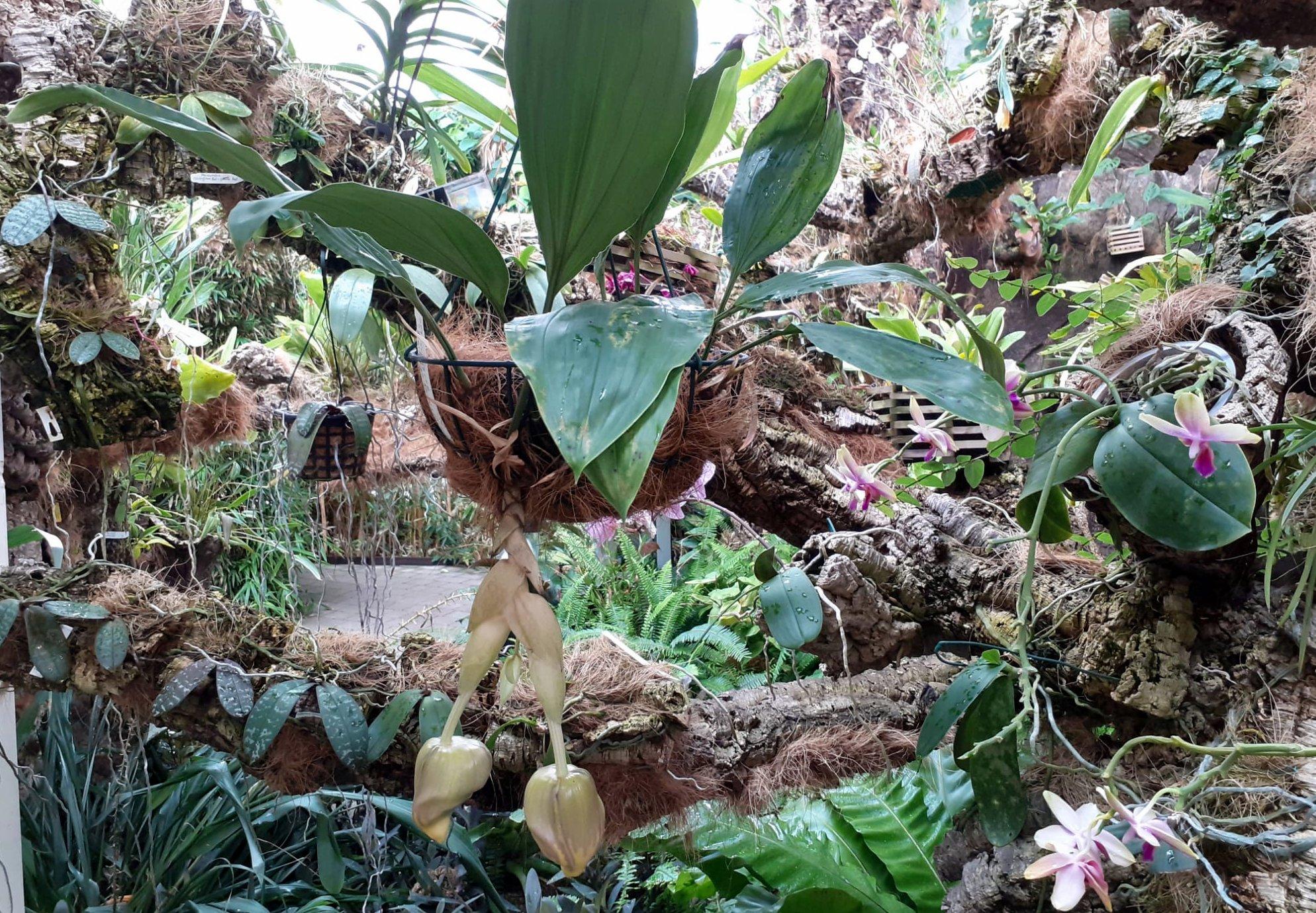 El Parque Botánico Orquidario acoge, por primera vez, la floración de una especie mexicana cuya fragancia es perceptible a varios metros de distancia